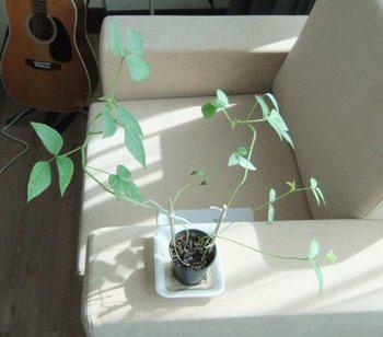 豆の木(朝).jpg